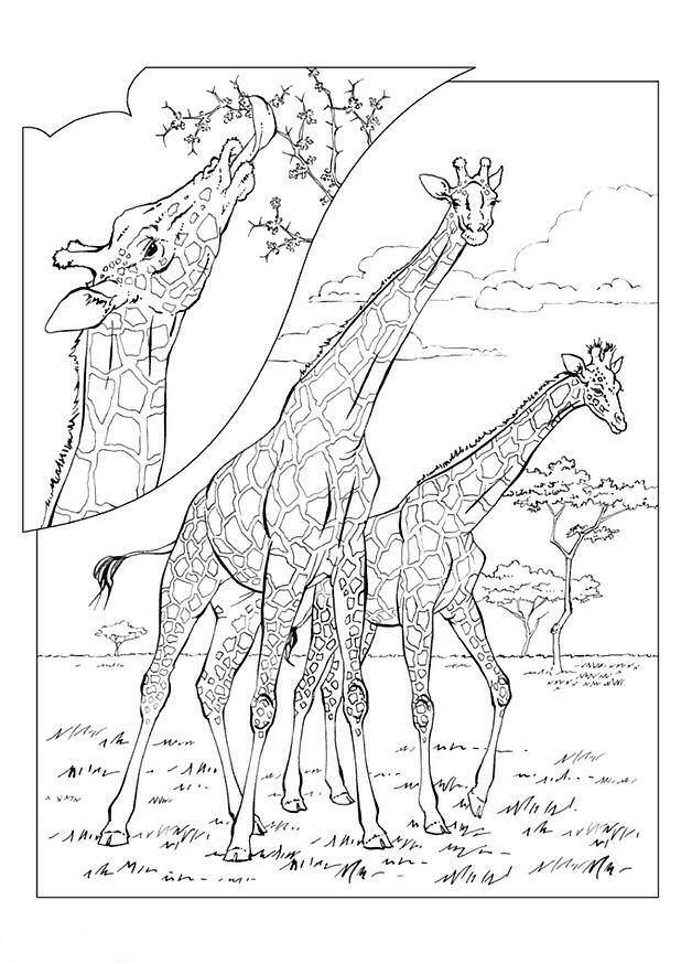 Kleurplaten Voor Volwassenen Giraf.Kleurplaten En Zo Kleurplaten Van Giraffe