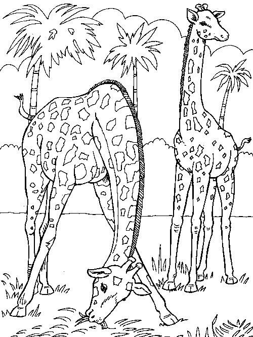 Kleurplaten Giraffen En Olifanten.Kleurplaten En Zo Kleurplaten Van Giraffe