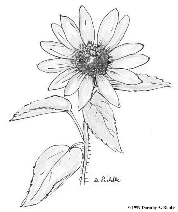 Wildflower Line Drawing : Free coloring pages of wildflowers drawing
